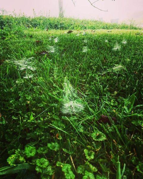 spiderwebs in lawn grass